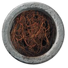 A photograph of roots clogging a sewer drain.